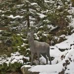 """""""il Cervo simbolico"""" presso il Santuario di N. S. di Lourdes a Forno di Coazze"""